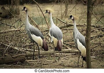 crown birds