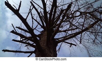 crown dried up tree - Old dried treetop and dark blue sky in...