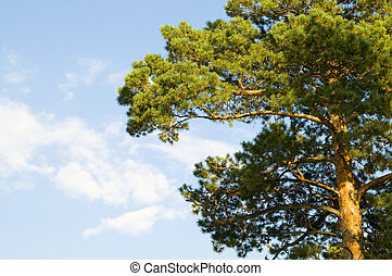 coniferous a tree - Crown green coniferous a tree, on a...