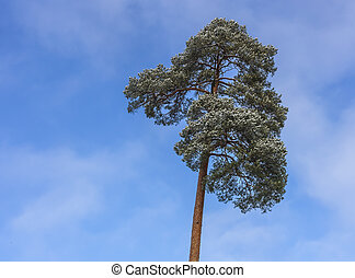 Crown of a pine tree on blue sky background