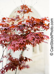 Crown of a tree with red leaves on the background of a building