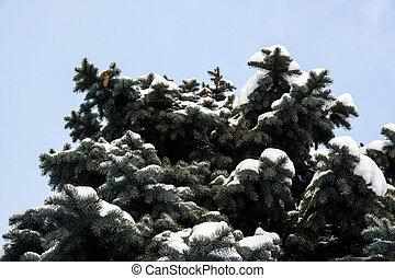 Crown of blue spruce under snow