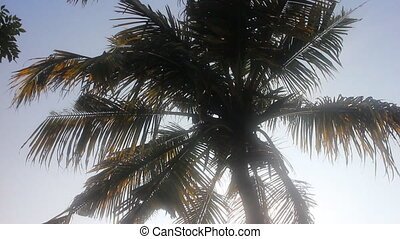 crown of coconut palm in winter