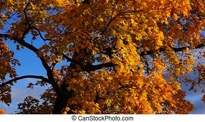 Crown of maple tree in autumn