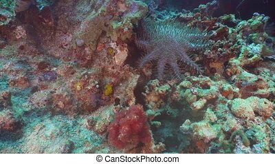Crown of thorn starfish. Bali,Indonesia.