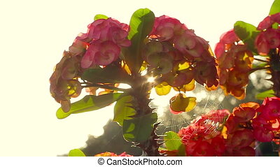 Crown of thorns plant - Crown of Thorns, euphorbia milii....