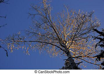 Crown of tree in sunset light - Crown of aspen tree in...