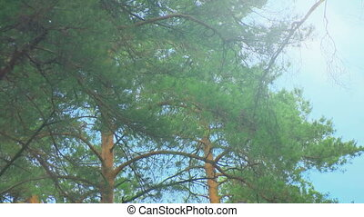 Crown of trees in the pine forest. Wind