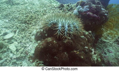 Crown thorns starfish on coral. - Crown thorns starfish...