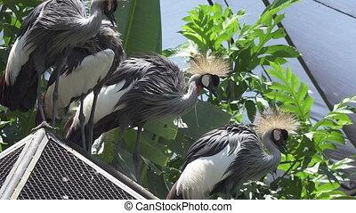 Crowned crane. Balearica pavonina in zoo - Crowned crane...