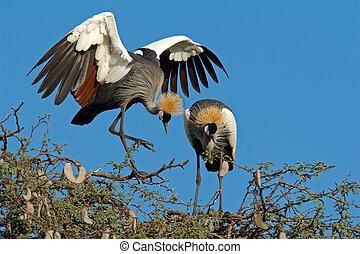 Crowned cranes - Displaying crowned cranes (Balearica ...