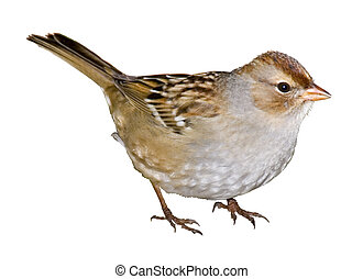 Crowned Lady - White-crowned Sparrow, Zonotrichia...