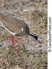 Crowned Lapwing - Botswana