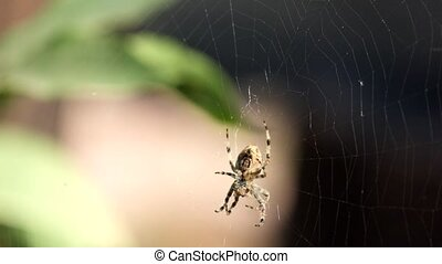 Crowned orb weaver sits in a web and does something (Araneus...