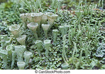Crowned Pixie Cup Lichen - Lichens and mosses growing on the...