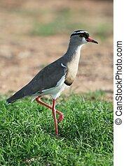 Crowned Plover Bird