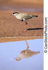 Crowned plover walking on the edge of a water pool looking for insets