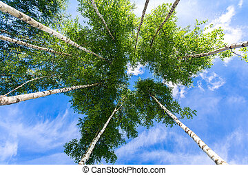 Crowns of tall birch trees above his head in the forest against a blue sky. Wild nature of the forests. Deciduous forest in summertime