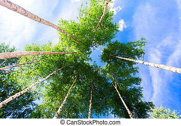 Crowns of tall birch trees in the forest against a blue sky. Deciduous forest in summertime