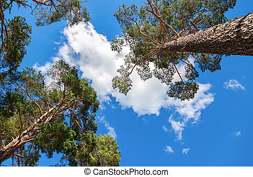 Crowns of tall pine trees above his head in the forest against blue sky