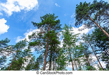 Crowns of tall pine trees in the forest against a blue sky in sunny day