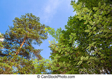 Crowns of tall trees above head in the forest against a sky