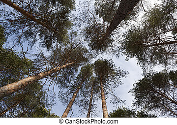 Crowns of trees against the sky