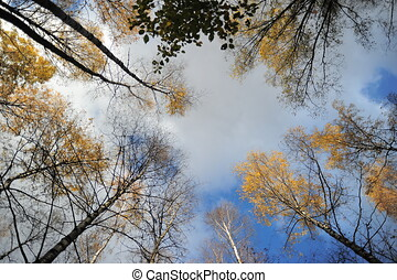 Crowns of trees, clouds and deep blue sky. Look up.