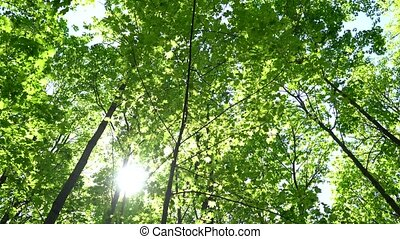 Crowns of trees with bright afternoon sun and rays. - Crowns...