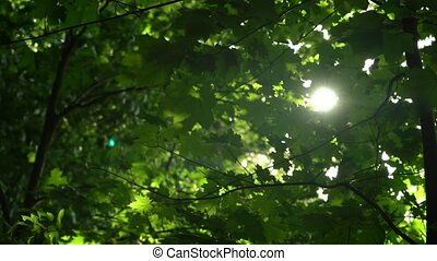 Crowns of trees with bright afternoon sun and rays