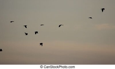 crows flying in the evening sky slow motion