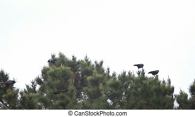 crows in a windstorm - several crows seem to enjoy perching...