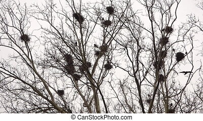 Crows in nests on tree