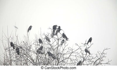 Crows in winter snowfall