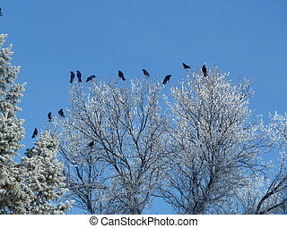 Crows on frosty branches