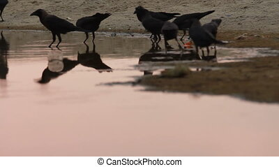 Crows on the river bank.