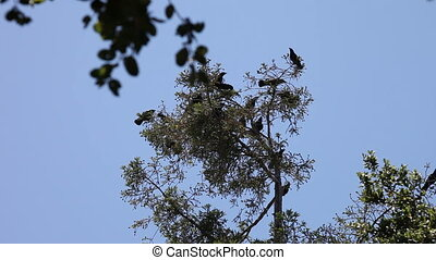 crows coming from all directions to land at the top of a redwood tree