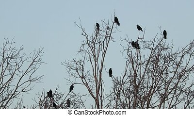 Crows on the trees - Crows sitting on bare tree branches