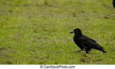 Crows searching for food - Crows on a field searching for ...