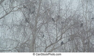 Crows sit on the branches of a birch - A group of black...