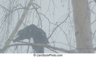 Crows sit on the branches of a birch