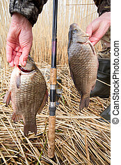 crucian carp (Carassius) caught on hook against water and...