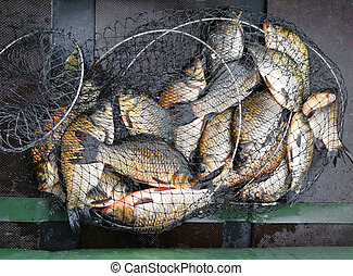 crucian carp fish in a fisherman's net