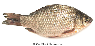 crucian carp