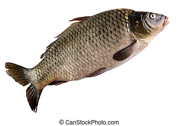 Crucian carp isolated on white back