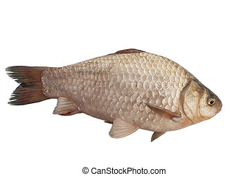 Crucian carp on a white background