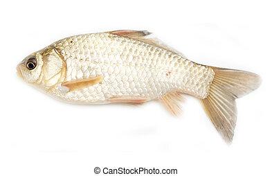 crucian carp on white background
