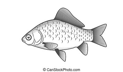 Crucian carp sketch, hand drawn fish, crucian fish in engraved style, vector