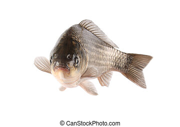 crucian carp - a freshwater aquaculture carp with white...