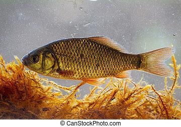 crucian carp swimming underwater among water vegetation from...